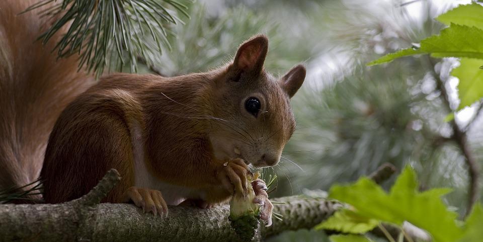 squirrel-805092_960_720