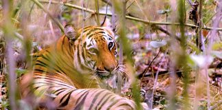 бенгалски тигър